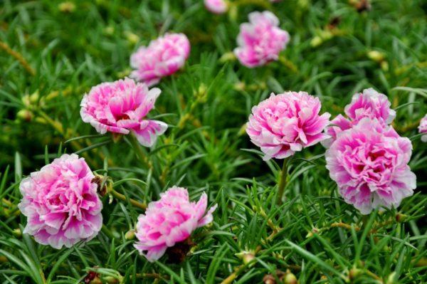 Các loại hoa mười giờ được ưa chuộng hiện nay
