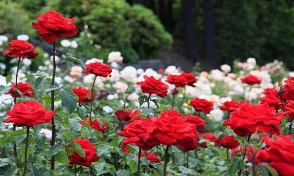 Cách chăm sóc hoa hồng trong chậu