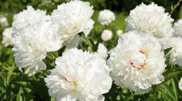 Ý nghĩa của hoa mẫu đơn – loài hoa vương giả