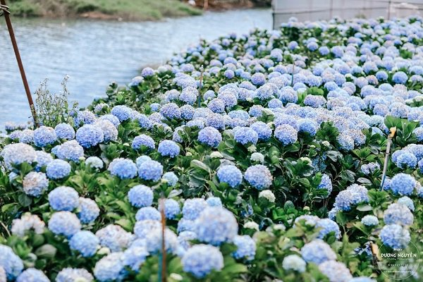 Bạn có biết hoa cẩm tú cầu nở vào mùa nào trong năm không?