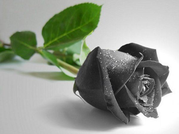 Hoa hồng đen có thật không?