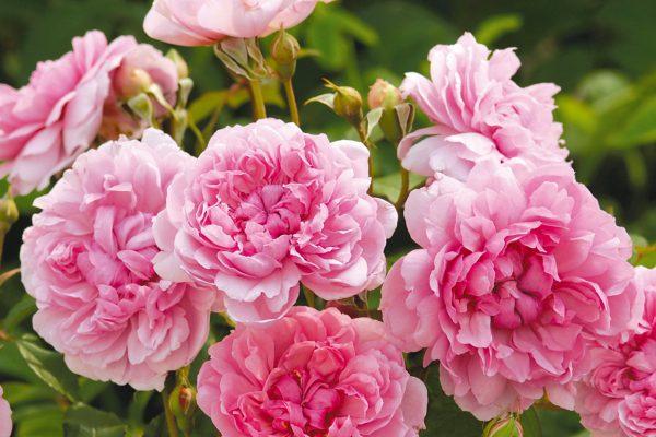 Ngắm những giống hoa hồng thơm nhất thế giới