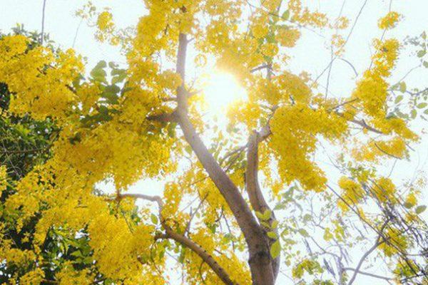 Ý nghĩa của hoa hoàng yến – loài hoa báo hiệu thời khắc giao mùa
