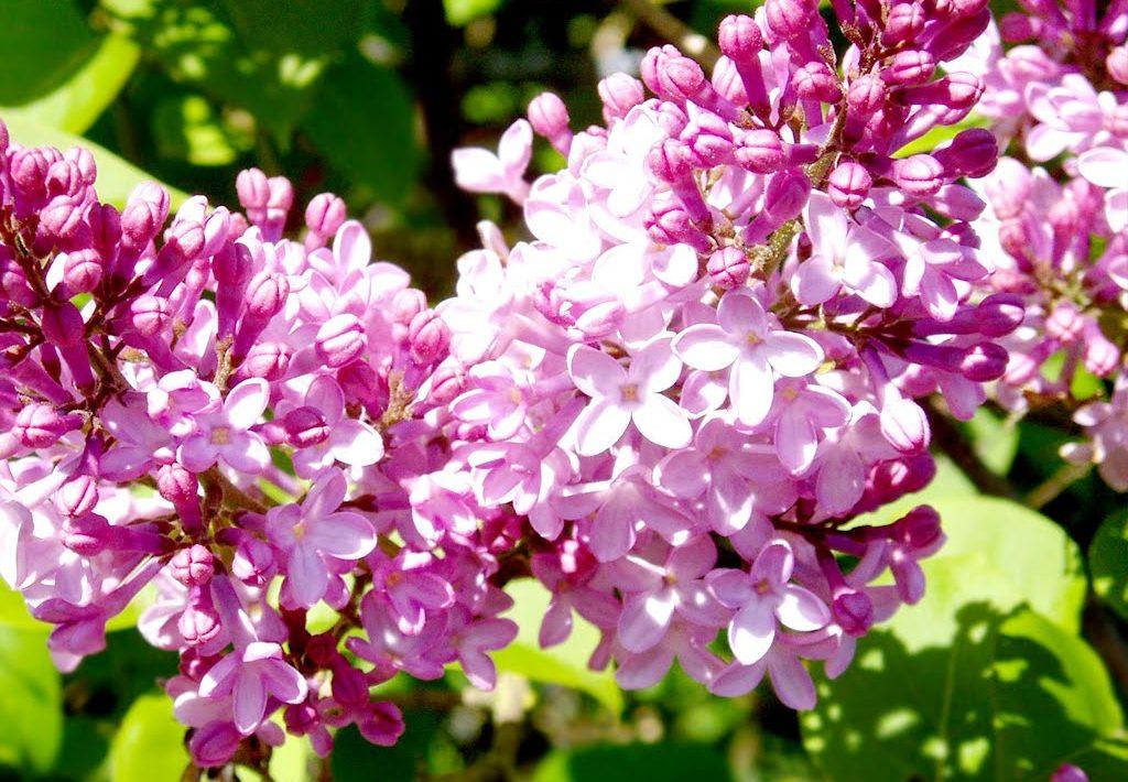 Ý nghĩa của hoa tử đinh hương – loài hoa thơ mộng
