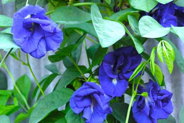 Các loài hoa màu xanh nước biển tuyệt đẹp