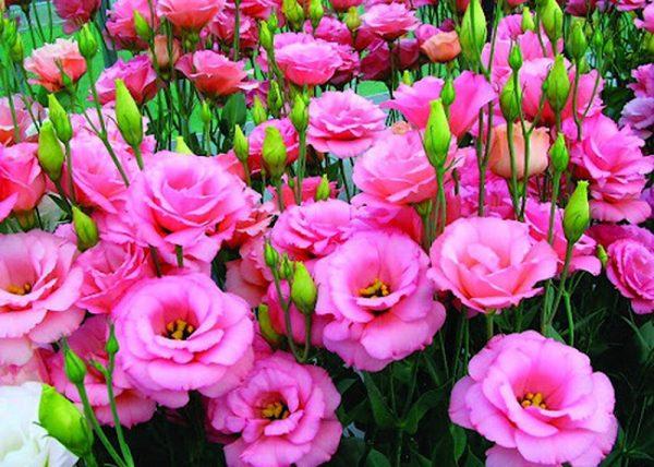 Cách chăm sóc hoa cát tường ra hoa quanh năm
