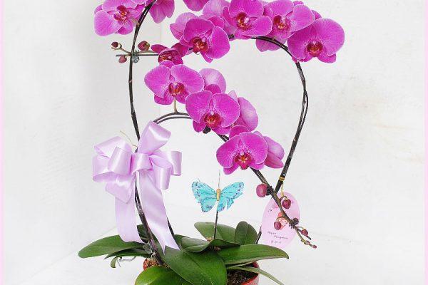 Hướng dẫn cách chăm sóc hoa lan hồ điệp