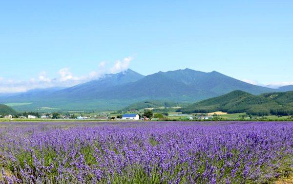 Những cánh đồng hoa oải hương nổi tiếng thế giới