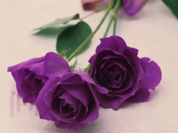 Ý nghĩa của hoa hồng tím – tình yêu từ cái nhìn đầu tiên