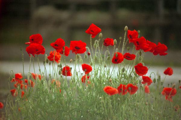 Ý nghĩa của hoa anh túc – một tình yêu ảo mộng