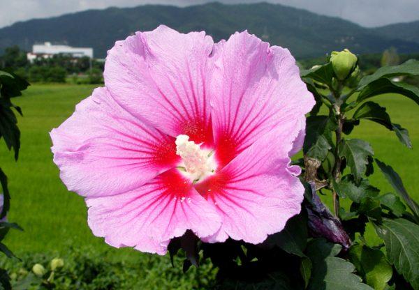 Hoa Mugunghwa – quốc hoa của Hàn Quốc