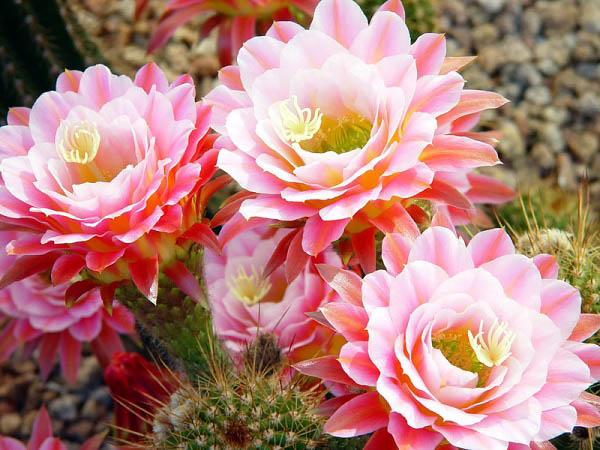Những ý nghĩa của hoa xương rồng mà có thể bạn chưa biết