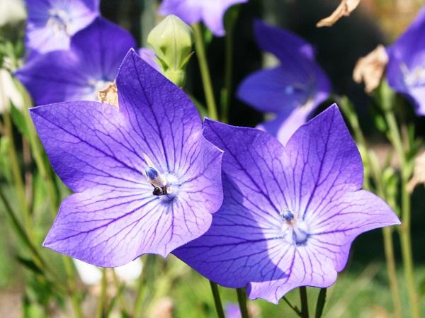 Ý nghĩa của hoa cát cánh – loài hoa mang vẻ đẹp cổ điển