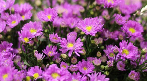 Ý nghĩa của hoa cúc tím – loài hoa thanh lịch