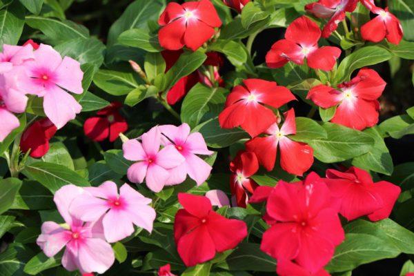 Ý nghĩa của hoa hải đằng – loài hoa mang sứ mệnh cao cả