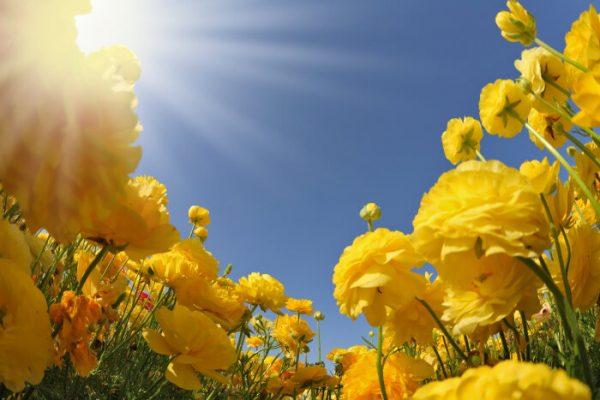 Ý nghĩa của hoa mao địa vàng rực rỡ quyến rũ