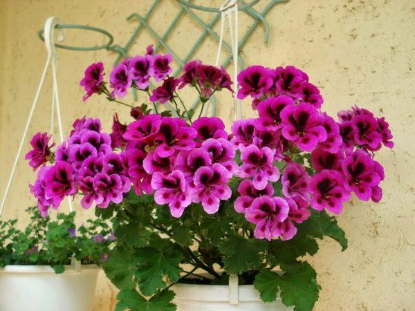 Ý nghĩa của hoa phong lữ - loài hoa của sự ưu ái