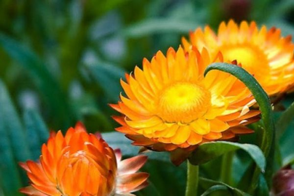 Ý nghĩa hoa cúc bất tuyệt minh chứng cho tình yêu mãi mãi