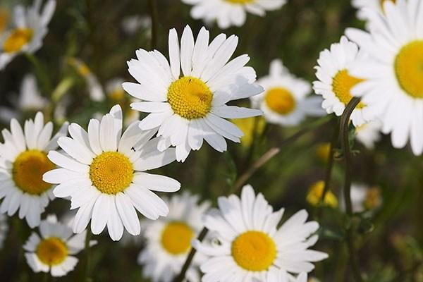 Ý nghĩa hoa cúc dại – hiện thân của người con gái thuỷ chung