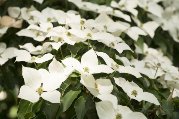 Ý nghĩa hoa dương đào – loài hoa huyền bí