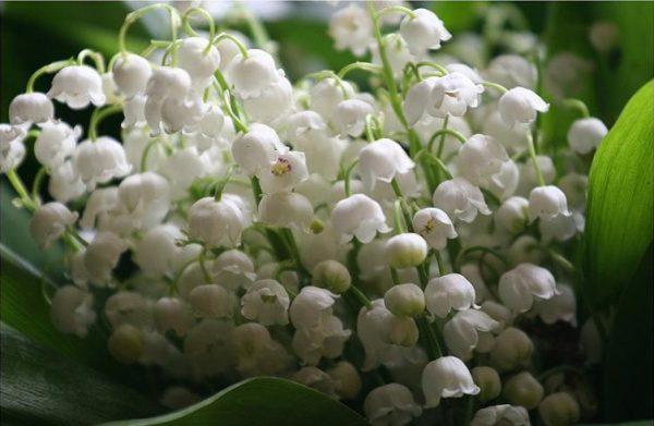 Ý nghĩa hoa linh lan – loài hoa trong trẻo thuần khiết
