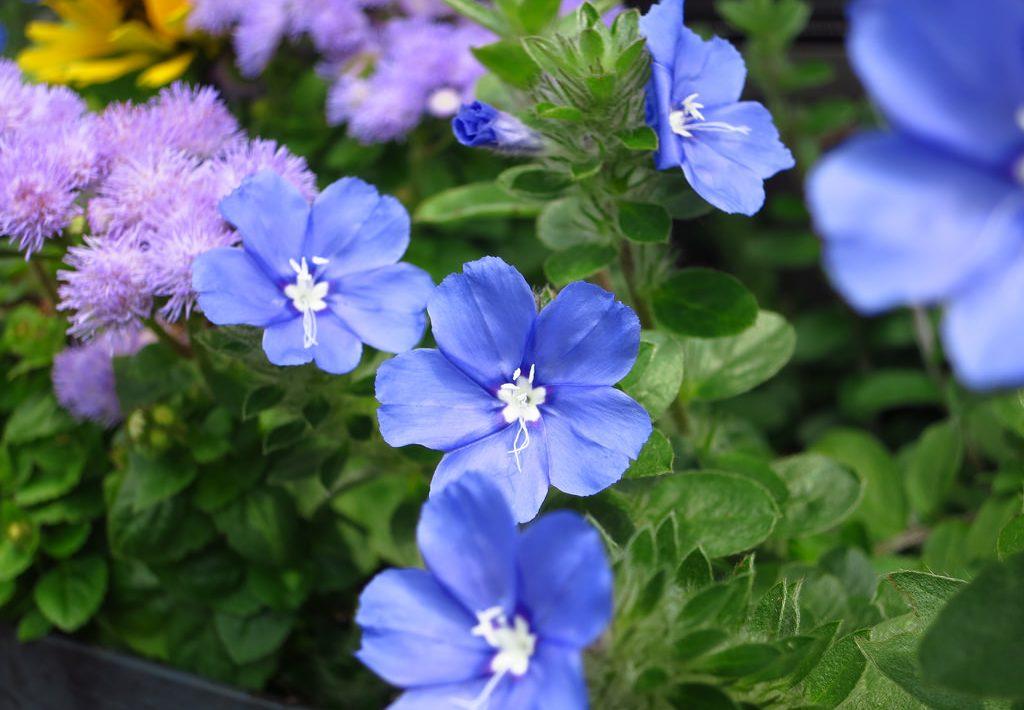 Tác dụng của cây hồng môn – loài hoa đẹp xinh