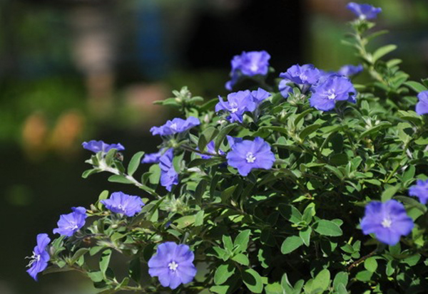 Ý nghĩa hoa thanh tú – loài hoa màu xanh tuyệt đẹp