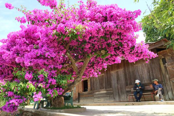 Cách chăm sóc cây hoa giấy cho hoa quanh năm