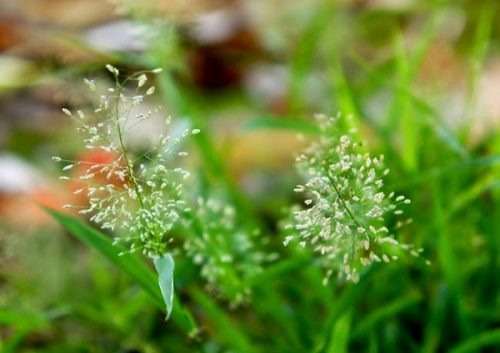 Ý nghĩa của hoa cỏ may – loài hoa đòng nội