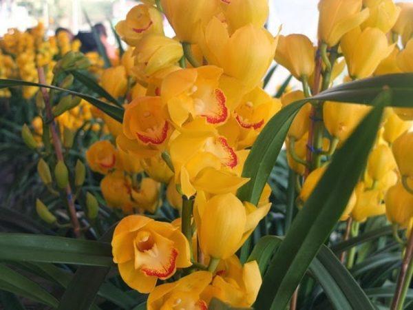Ý nghĩa của hoa địa lan – hoa chơi Tết đẹp và đắt