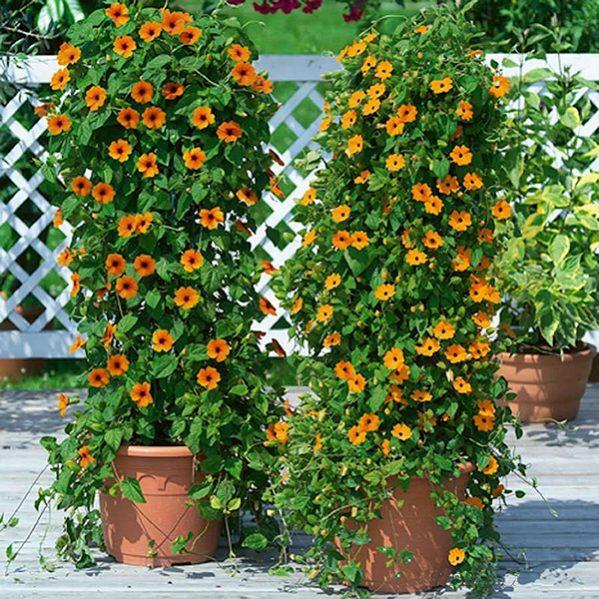 Ý nghĩa của hoa mắt huyền – hoa đẹp trồng ban công