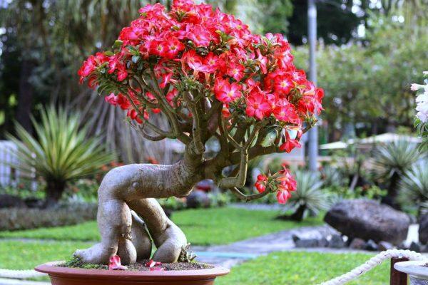 Đặc điểm và cách chăm sóc cây hoa sứ