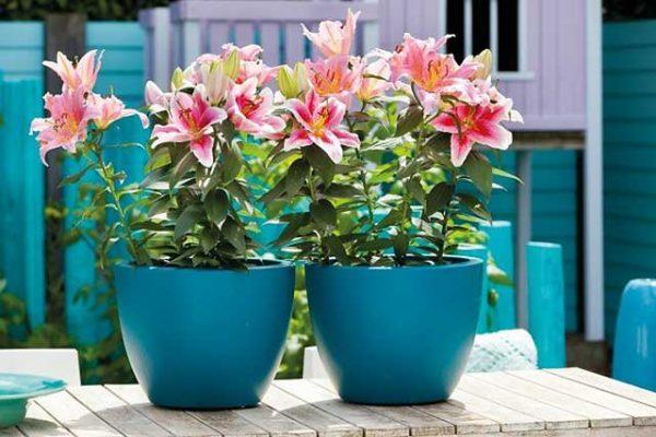 Đặc điểm và cách chăm sóc hoa ly