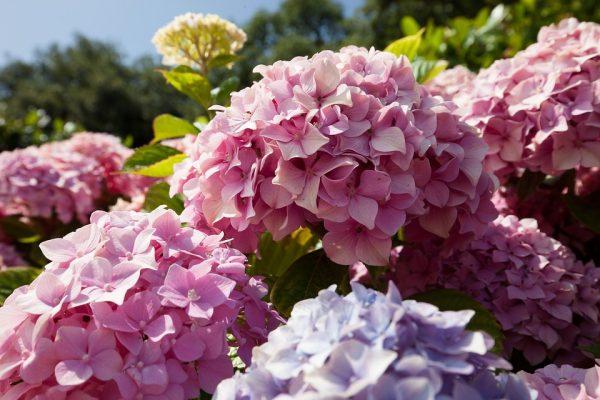 Hoa cẩm tú cầu có độc không?