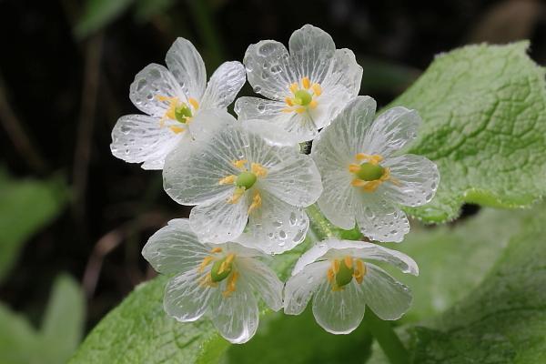 Hoa diệp hà sơn – loài hoa trong suốt như thuỷ tinh