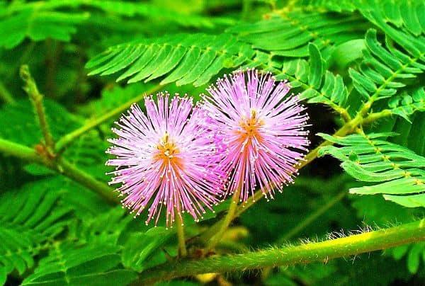 Ý nghĩa hoa mắc cỡ - loài hoa thẹn thùng e ấp