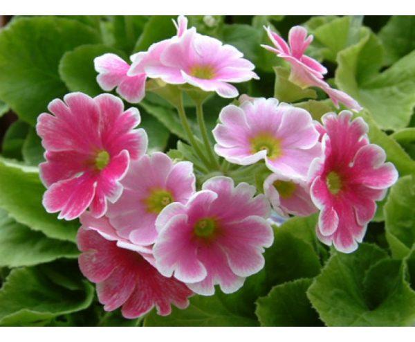 Đặc điểm và cách chăm sóc hoa anh thảo nở đẹp như ý