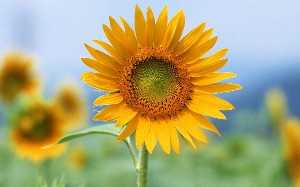 Những câu nói hay về hoa hướng dương hay và sâu sắc nhất