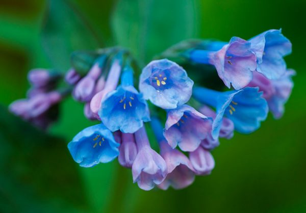 Ý nghĩa của hoa chuông xanh – loài hoa của sự may mắn