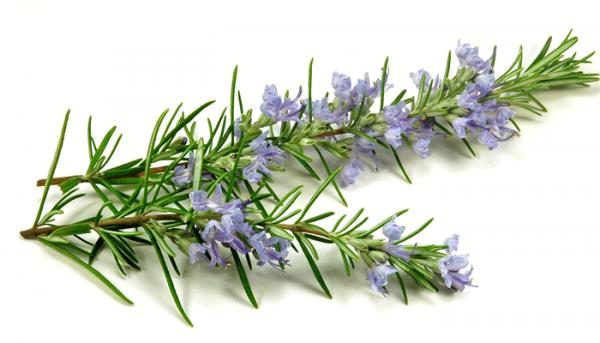 Ý nghĩa của hoa hương thảo