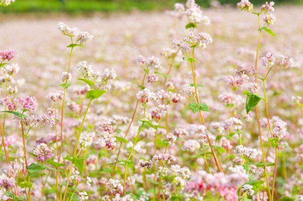 Ý nghĩa của hoa kiều mạch – loài hoa trên cao nguyên