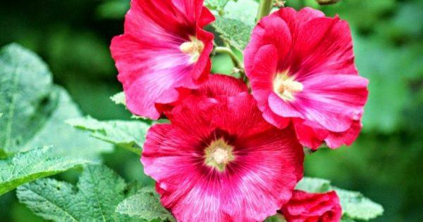 Ý nghĩa của hoa mãn đình hồng – loài hoa của sự dịu ngọt