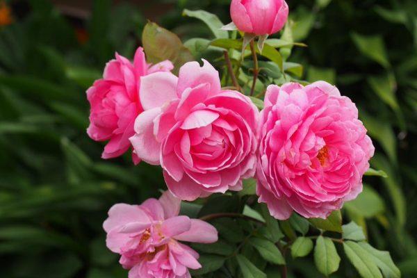 Các loại hoa hồng leo đẹp nhất