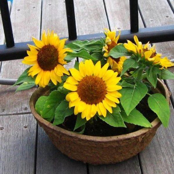 Trồng hoa hướng dương mấy tháng thì ra hoa?