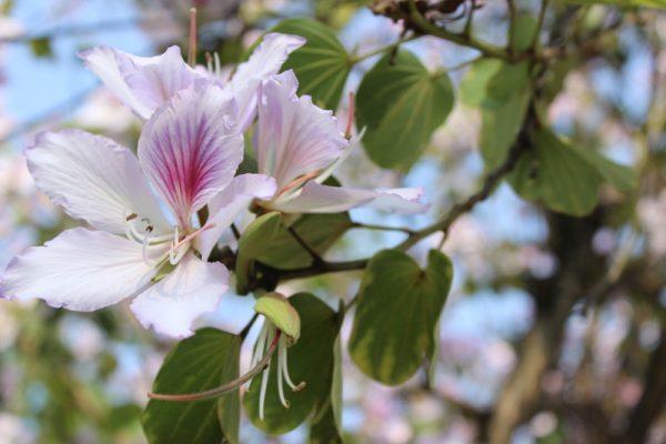 Ý nghĩa của hoa ban – loài hoa của núi rừng