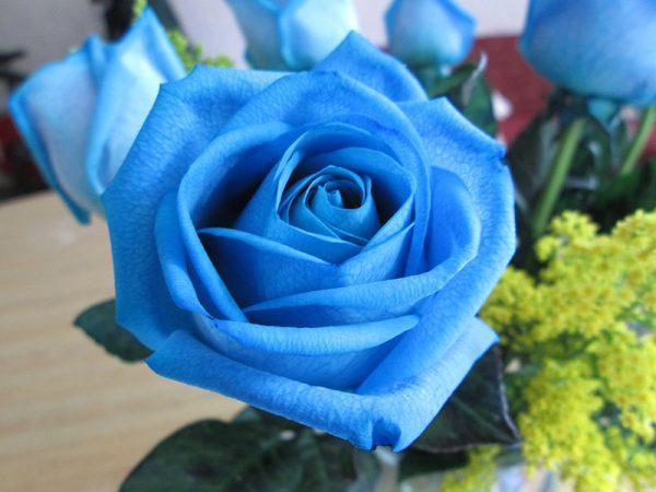 Ý nghĩa của hoa hồng xanh dương – loài hoa độc đáo