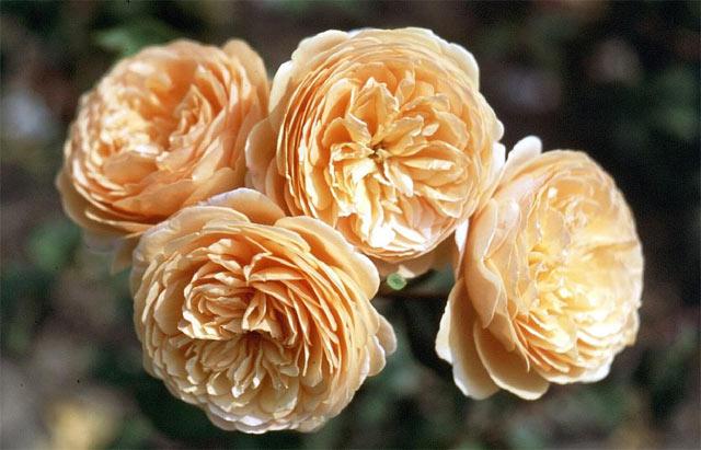 Hoa hồng Crown Princess Margareta