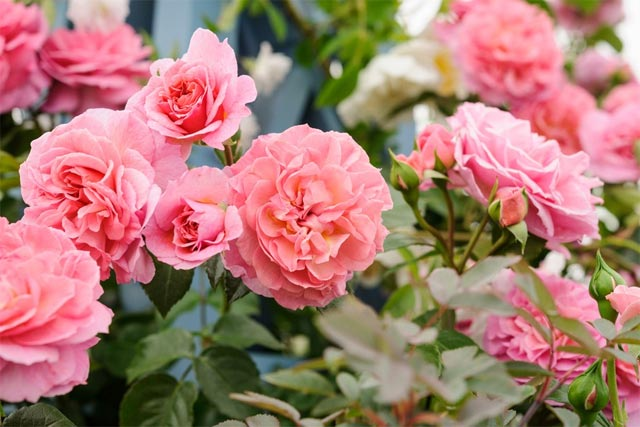 các loại hoa hồng leo ngoại dễ trồng